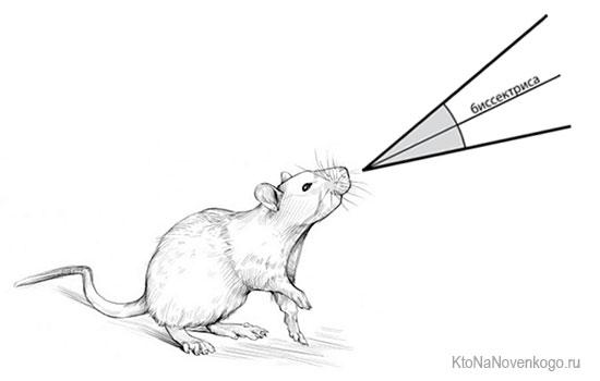 Крыса - биссектриса