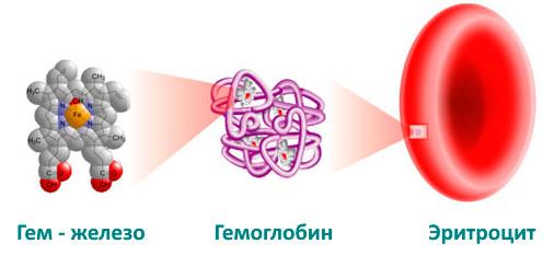 Гем-железо, гемоглобин и эритроциты - схема взаимодействия