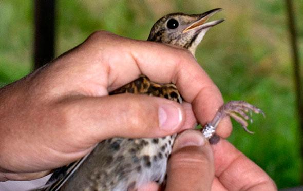 Птичка с установленным на лапке кольцом