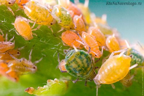 У пчел в результате партеногенеза развиваются