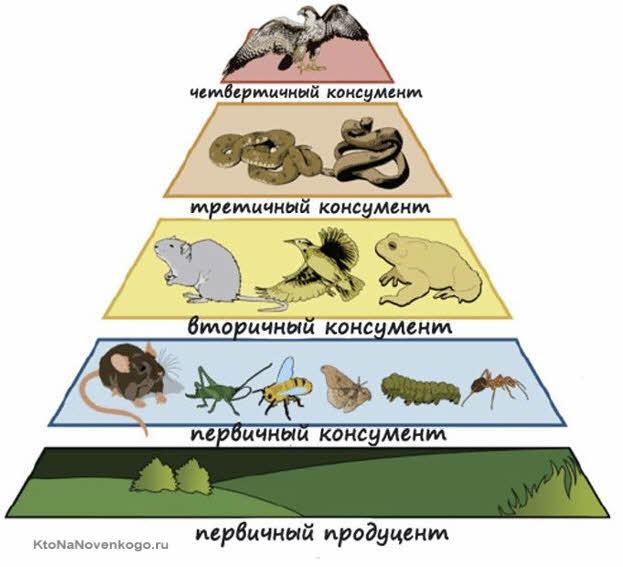 Пирамида консументов