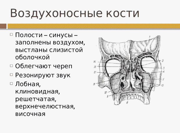 Синусы в черепе