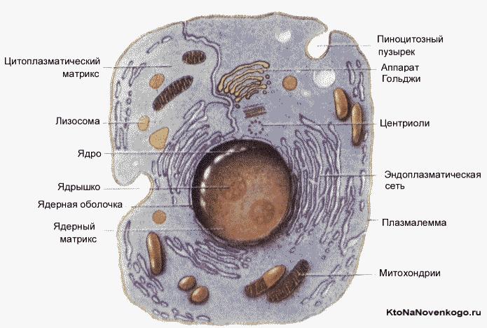 Состав клетки эукариот