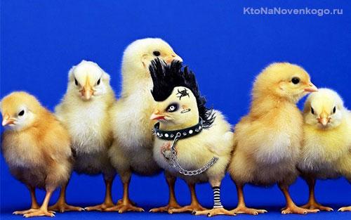 Цыпленок с ярко выраженной индивидуальностью