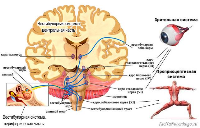 Просмотрите на схему вестибулярной системы человеке в головном мозге и внутреннем уже