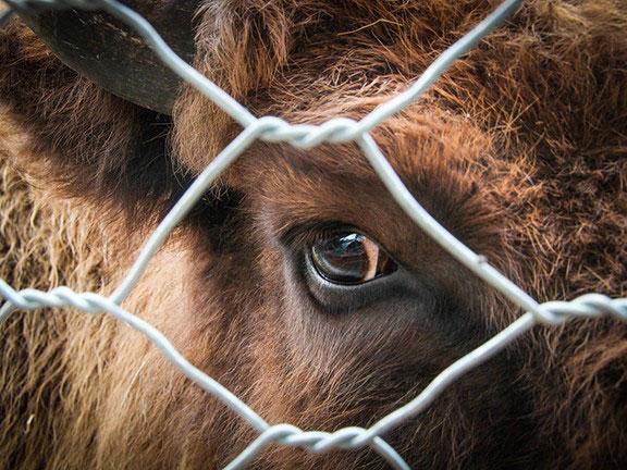 Глаз быка из-за решетки загона